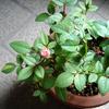 050908_rose
