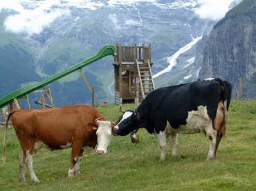 Swiss_cow4
