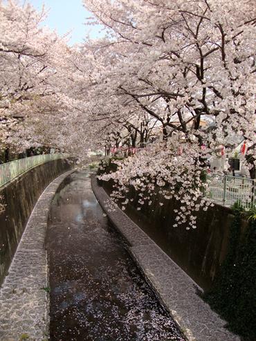 Takaido_sakura_2009