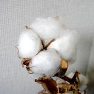 Cotton_4