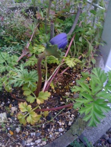 100331_anemone