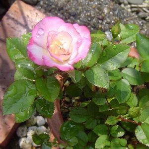 050620_rose