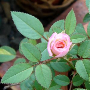 050908_rose1