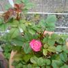 060530_rose3