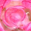 060530_rose3b